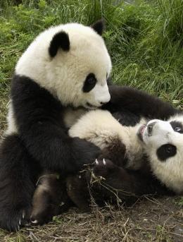可爱大熊猫1600*1200像素电脑桌面壁纸图片(10p)