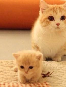 可爱小奶猫居家游戏,地板,沙发,凳子下戏耍图片