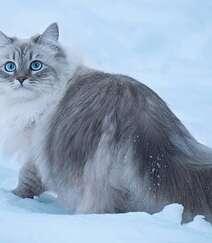 西伯利亚森林猫,雪地里,长得有点胖的西伯利亚森林猫唯美图片