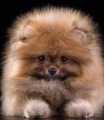 玩赏犬博美,可爱嘟嘟的宠物狗狗博美犬图片组图5