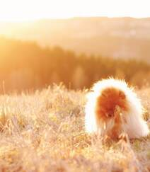 玩赏犬博美,可爱嘟嘟的宠物狗狗博美犬图片组图4
