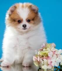 玩赏犬博美,可爱嘟嘟的宠物狗狗博美犬图片组图2