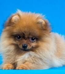 玩赏犬博美,可爱嘟嘟的宠物狗狗博美犬图片组图3