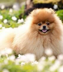 玩赏犬博美,可爱嘟嘟的宠物狗狗博美犬图片组图8
