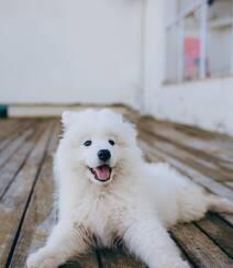 狐狸犬家族的一员 可爱白色毛发的萨摩耶狗狗摄影图片组图3