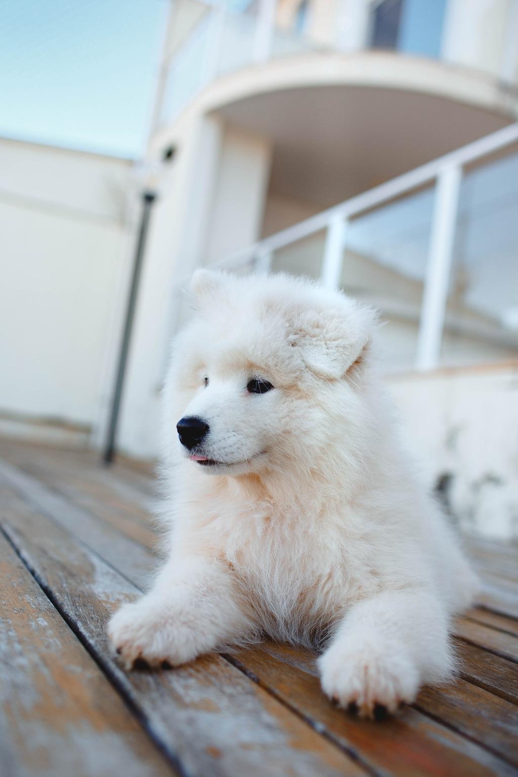 狐狸犬家族的一员 可爱白色毛发的萨摩耶狗狗摄影图片套图1