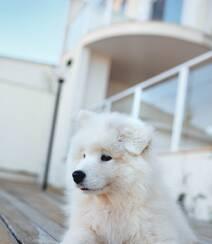 狐狸犬家族的一员 可爱白色毛发的萨摩耶狗狗摄影图片组图1