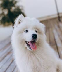 狐狸犬家族的一员 可爱白色毛发的萨摩耶狗狗摄影图片组图9