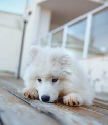 狐狸犬家族的一员 可爱白色毛发的萨摩耶狗狗摄影图片组图6