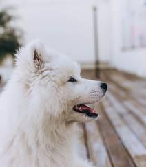 狐狸犬家族的一员 可爱白色毛发的萨摩耶狗狗摄影图片组图7