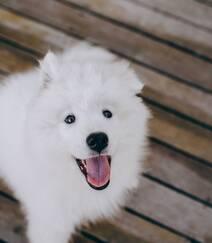 狐狸犬家族的一员 可爱白色毛发的萨摩耶狗狗摄影图片组图8