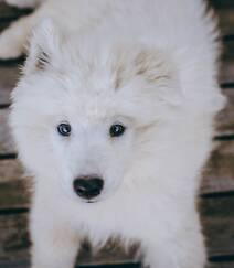 狐狸犬家族的一员 可爱白色毛发的萨摩耶狗狗摄影图片组图10