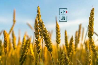金黄的麦穗,成熟 丰收,唯美小满节气中壁纸图片