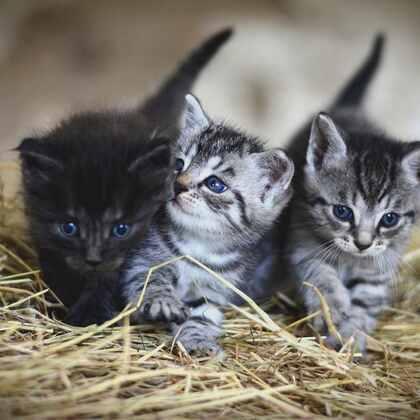 可爱的小猫,黑白相间的小猫咪可爱图片