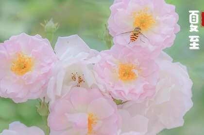 夏至壁纸,浪漫樱花为背景的二十四节气之夏至壁纸图片