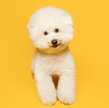 比熊犬,黄色背景下的萌宠比熊犬可爱摆拍图片