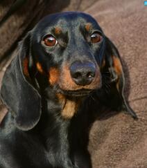 腊肠狗,腿短,精力充沛,肌肉发达的可爱腊肠狗高清摄影图片组图2