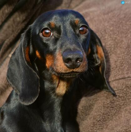 腊肠狗,腿短,精力充沛,肌肉发达的可爱腊肠狗高清摄影图片