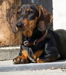 腊肠狗,腿短,精力充沛,肌肉发达的可爱腊肠狗高清摄影图片组图6