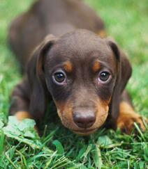 腊肠狗,腿短,精力充沛,肌肉发达的可爱腊肠狗高清摄影图片组图5