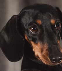 腊肠狗,腿短,精力充沛,肌肉发达的可爱腊肠狗高清摄影图片组图4