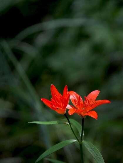 红色可人的有斑百合花草唯美摄影图片
