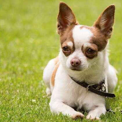 世界上最小的犬种之一,可爱的宠物狗狗吉娃娃狗高清摄影图片