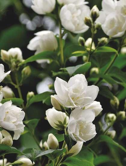 花极香,白色纯洁的茉莉花高清摄影美图