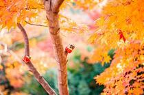 枫树,金黄的枫叶,和摆在树上的小玩偶唯美高清景色壁纸图片