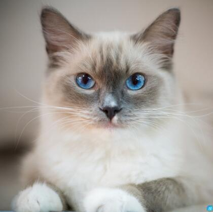 蓝色眼睛,白色毛发的布偶猫高清微距形态特写摄影图片