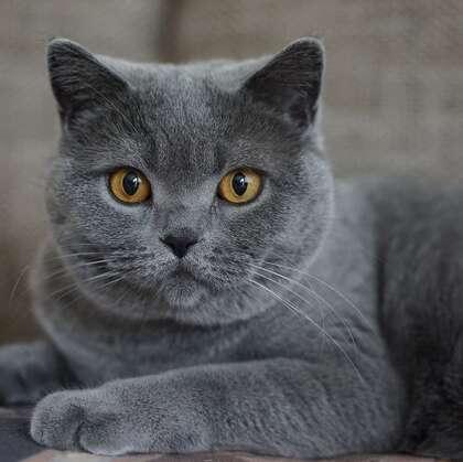 灰色毛发的可爱呆萌蓝猫(英国短毛猫)图片