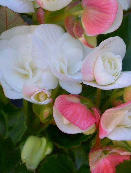 娇艳动人,盛开的各色海棠花高清图片