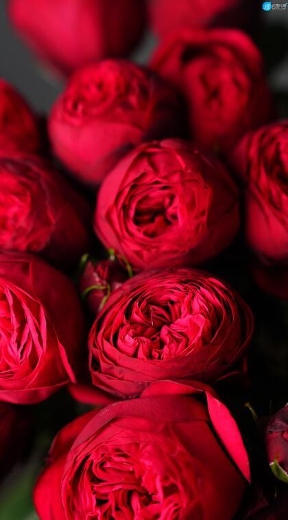 红色的玫瑰花花束高清微距摄影手机壁纸图片