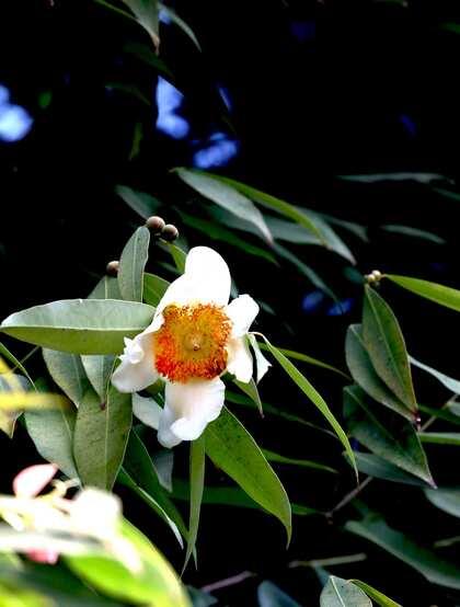 可用于制作肥皂,云南特有二级保护植物铁力木花,果实,叶子图片