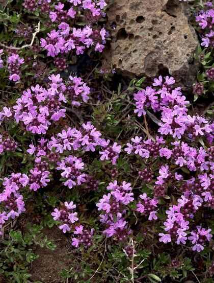 可作为食材,欧洲烹饪常用香料 野外生长的百里香花朵图片