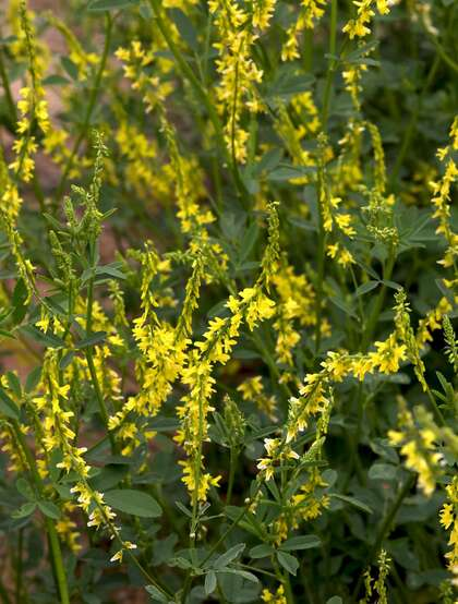 开着黄色小花的二年生草本植物草木犀图片