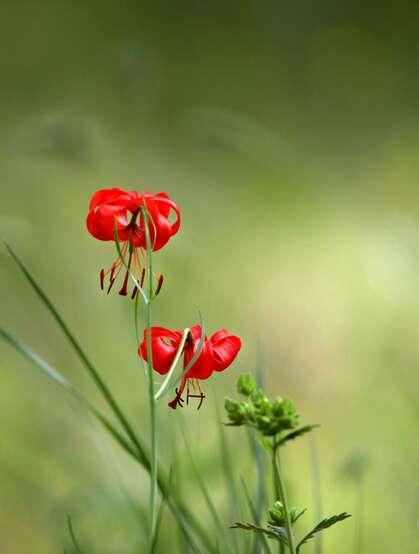 美丽娇艳的山丹花,有斑百合花图片