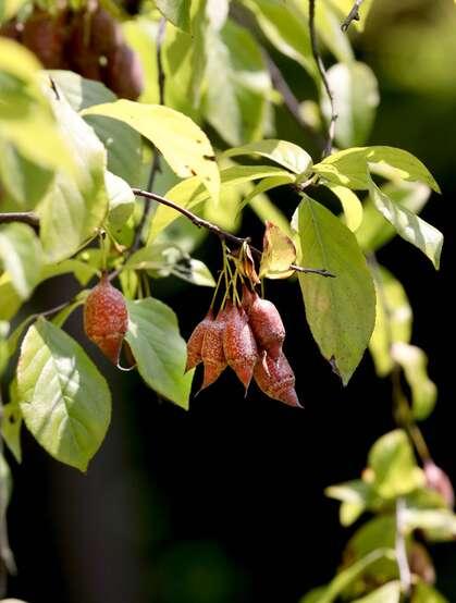 秤锤树,中国特产树种秤锤树花朵,果实,叶子图片