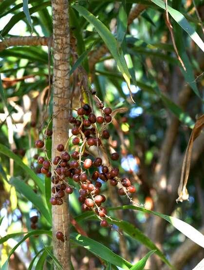 海南龙血树,常绿灌木海南龙血树,果实,树叶图片