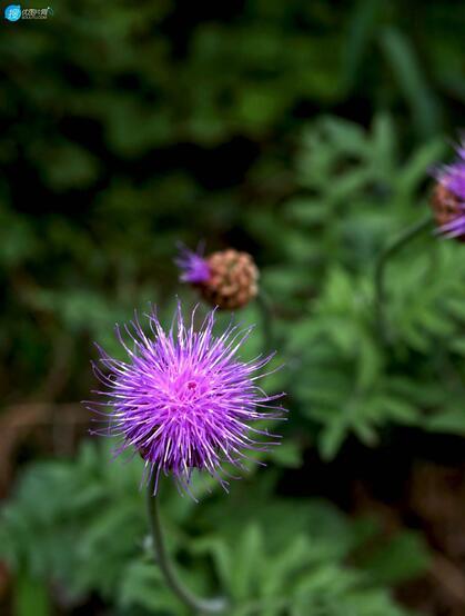 漏芦(野兰)图片,多年生草本植物漏芦户外自然摄影美图
