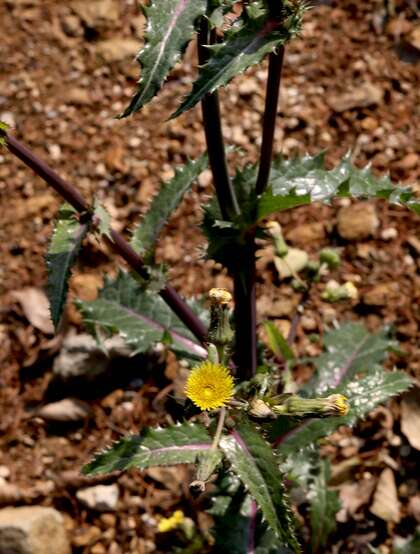 续断菊刺(刺菜,恶鸡婆),遍布野外的常见草本植物续断菊刺花朵图片