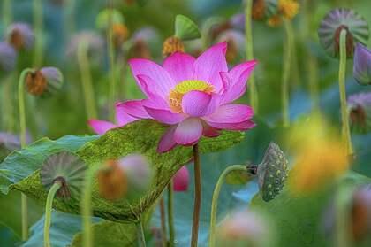 莲花,莲藕,莲田唯美壁纸图片